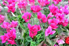 Close up of a  pink cyclamen flowers with their ornamental leaves cultivated  - stock photo