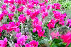 Close up of a  pink cyclamen flowers with their ornamental leaves cultivated  Stock Photos