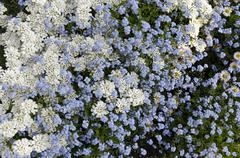 Background from blue forget me not (Alyosotis palustris) and iberis - stock photo