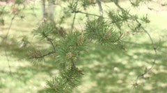 Closeup pine branch move in the wind Stock Footage
