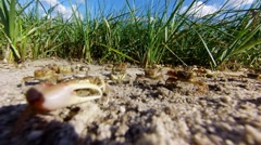 Fiddler Crabs move-stop in large group from left to right Stock Footage