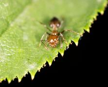 Ant on a green leaf. close - stock photo