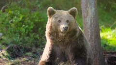 Large adult brown bear relaxing and scratching in the forest Stock Footage
