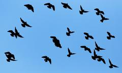 Stock Illustration of silhouette of a flock of pigeons on blue sky