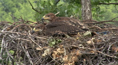 Young Imperial eagle chicks in the nest on a tree Stock Footage