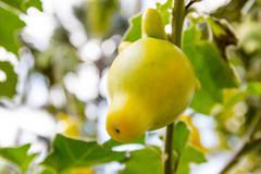 Stock Photo of Solanum mammosum plant