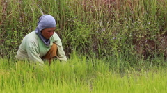 2015090Editorial footage of Thai farmer working in rice farm4 87 ED Stock Footage