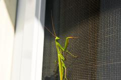 Praying Mantis insect in nature. Mantis religiosa. - stock photo