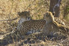Female Cheetah and Cub Stock Photos