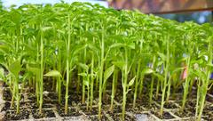 Outbreaks sprouts in nursery on Solanaceae Stock Photos