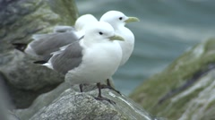 Mew Gulls on Rock by Bering Sea and Nome Alaska Stock Footage