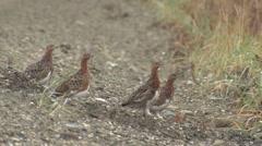 Willow Ptarmigan Flock in Summer in Alaska - stock footage