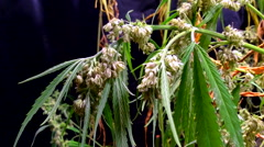 Male cannabis plant separated for pollination - stock footage