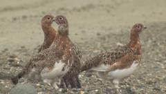 Willow Ptarmigan in Summer Plumage in Alaska Stock Footage