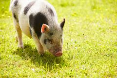 Pet Micro Pig In Field Of Yellow Summer Flowers - stock photo