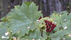 Pacific Northwest Rain Forest Zoom Devils Club Plant - stock footage