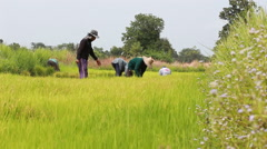 Editorial footage of Thai farmer working in rice farm Stock Footage
