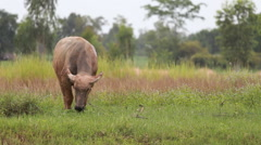 Asia  buffalo in nature green grass Stock Footage