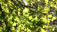 The sun shines through the green leaves wood. Stock Footage