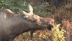Female Moose Browsing on Twigs and Leaves at Denali NP - stock footage