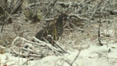 Spruce Grouse Walking in Snow in Denali National Park Winter Stock Footage