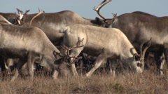 Reindeer aka Caribou Herd Walking in Alaska Stock Footage