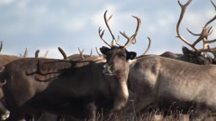 Closeup of Reindeer in Nome Alaska Stock Footage