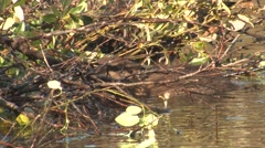 Beaver Chewing on Branches and Twigs at Dam - stock footage