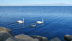Pair of adult swans with young swan Stock Footage