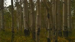 aspen forest - stock footage
