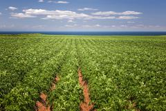 Stock Photo of Potato field in Prince Edward Island