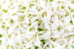 White Ixora Flower Stock Photos