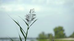 Typha Latifolia Flower Stock Footage