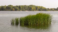 Typha Latifolia in the River Stock Footage