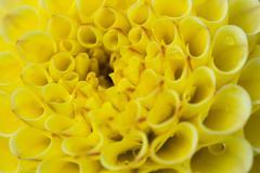 Yellow Dahlia Hybrid Beautiful Flower - stock photo