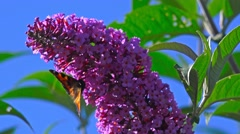 Bee and Butterfly on Purple Flower Stock Footage