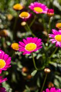 Pink Daisy Flowers - stock photo