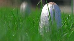 Inkcap edible mushroom Stock Footage
