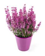 Pink heather planted in pot isolated on white Stock Photos