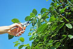 Gardener cuts a branch of plum tree Stock Photos