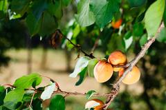 Apricot tree with fruits Stock Photos