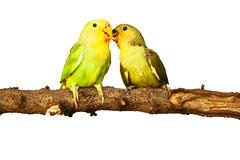 birds love on isolated - stock photo
