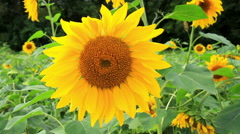 Sunflower in the field Stock Footage