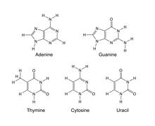 Stock Illustration of Purine and pyrimidine nitrogenous bases - skeletal chemical formulas
