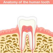 Anatomy of human tooth Stock Illustration