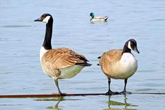 Canada geese standing on water Stock Photos
