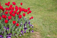 Beautiful Colorful Bouquet of Tulips Flower in Spring Flora Natural Concept - stock photo
