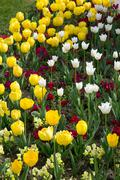 Stock Photo of Beautiful Colorful Bouquet of Tulips Flower in Spring Flora Natural Concept