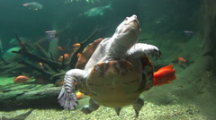 Long Neck Turtle Swimming With Fish - stock footage