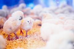 Small chickens in farm incubator or coop - stock photo